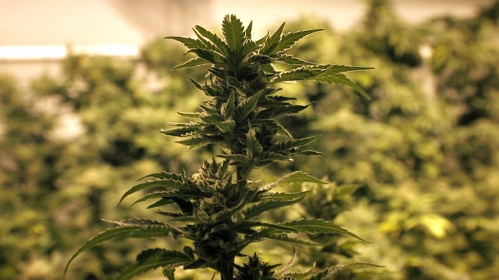 """in Cannabis-Legalisierung: """"ZDFzoom"""" beleuchtet den """"Zoff ums Kiffen"""" am Dienstag nach dem Champions-League-Rückspiel (FOTO)"""